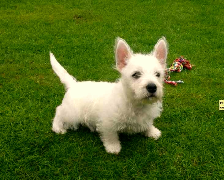 Westy, West Higtland White Terrier