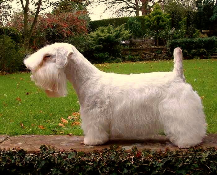 Sealyhand Terrier
