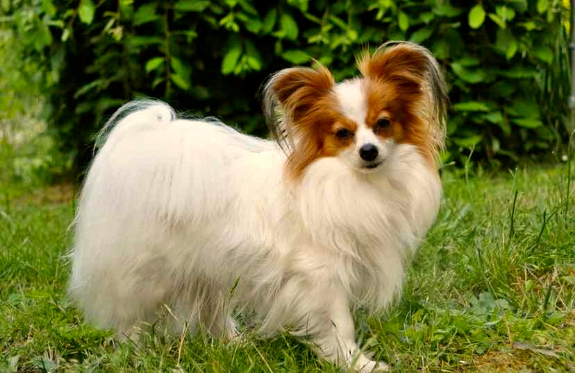 Papillon o Continental Toy Spaniel