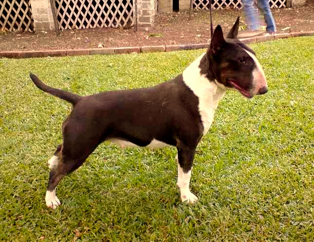 English Bull Terrier miniatura