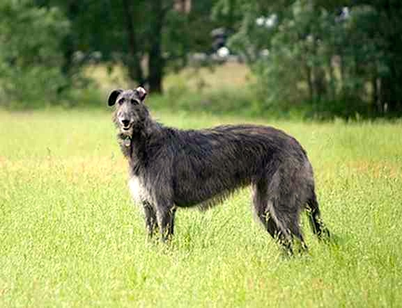 American Staghound, el galgo americano