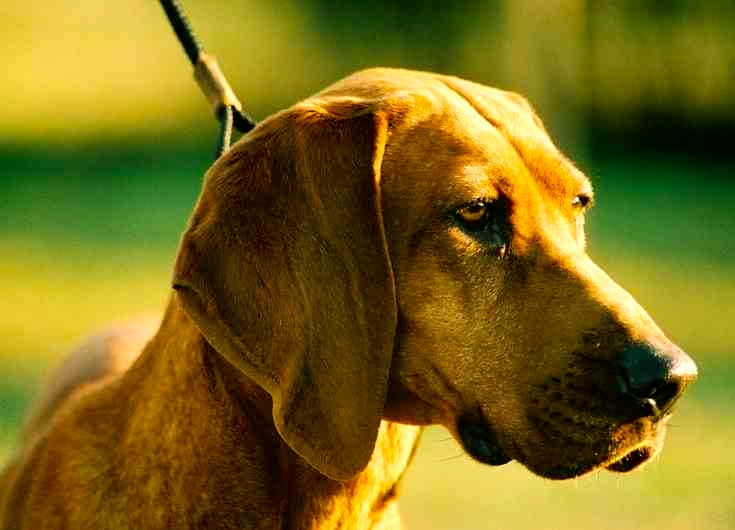 sabueso coonhound