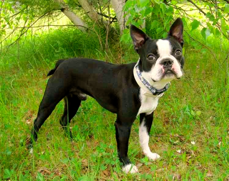 Boston Terrier, caracteristicas